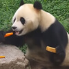 панда прячет вкусную еду