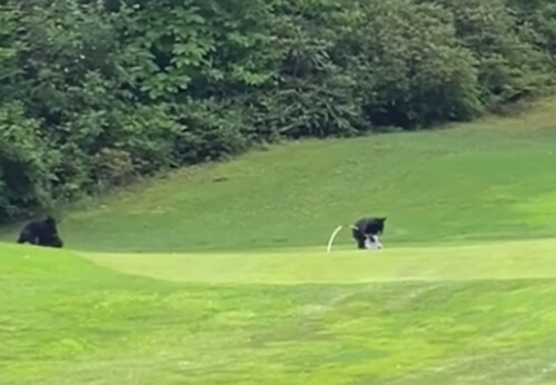 медвежонок играет с флагом