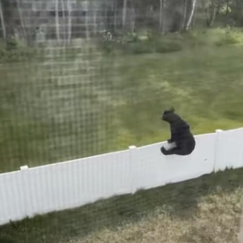 забор не остановил медведей