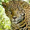 ссора из-за ягуаров в зоопарке