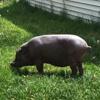 самая старая свинья в мире