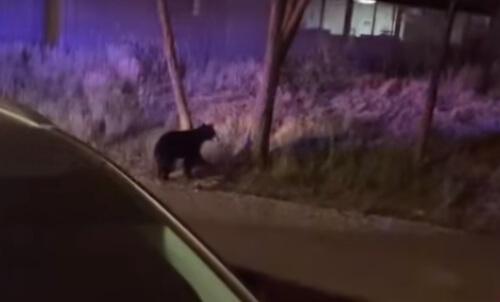медведица заперлась в машине