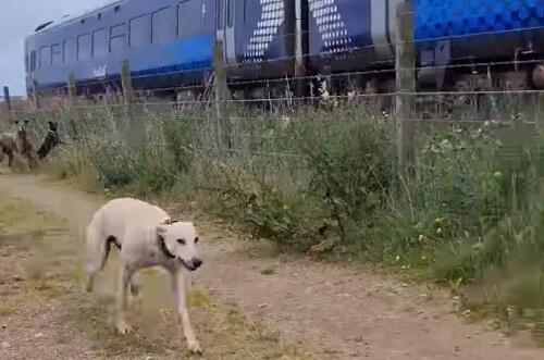 собака хочет обогнать поезд
