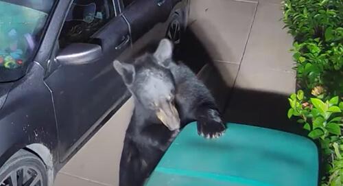 медведи и мусорный бак