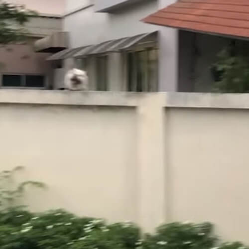 собака прыгает за забором
