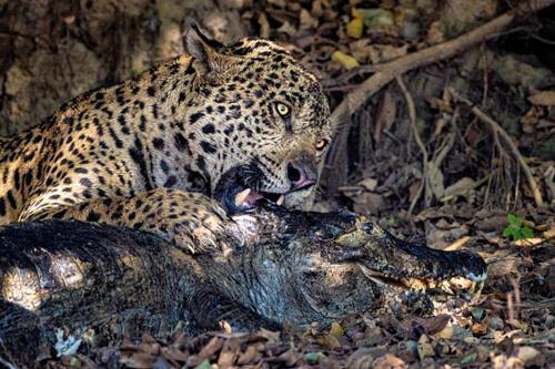 ягуар убил каймана