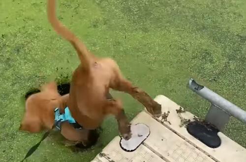 щенок перепутал ряску с газоном