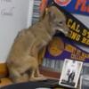 испуганный койот в школе