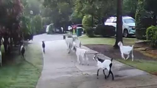 козы на соседской лужайке