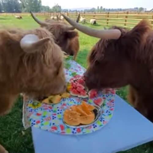 фруктовый пикник для коров