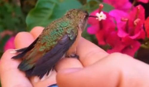 колибри насыщается нектаром