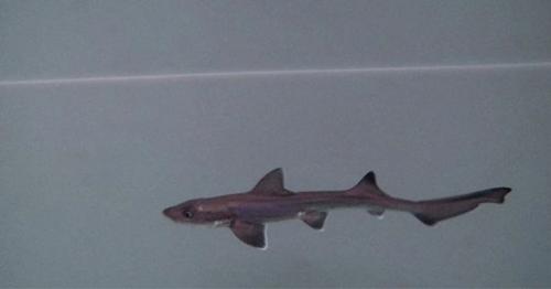 чудесный детёныш акулы