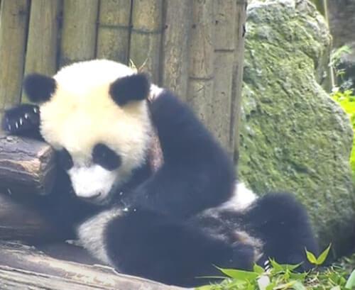 панда не забыла о безопасности еды