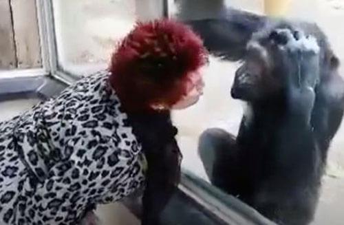 близкая дружба с шимпанзе