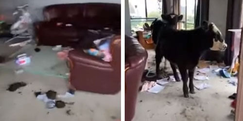 беспорядок из-за вторжения коров