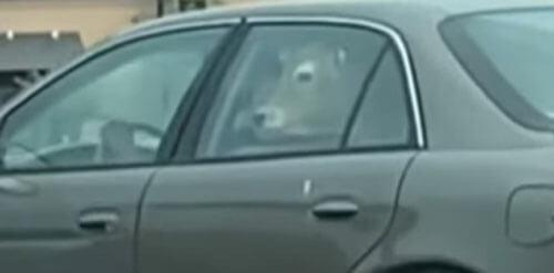 корова на заднем сиденье машины