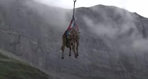 коровы полетали на вертолёте
