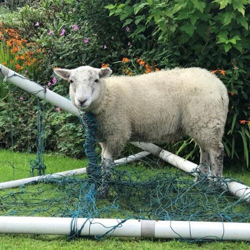 овца в футбольной сетке