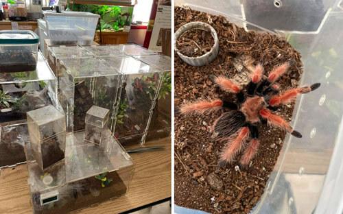 тарантулы и питон в квартире