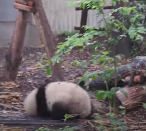 истерика маленькой панды