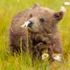 медвежонок исследует цветочки