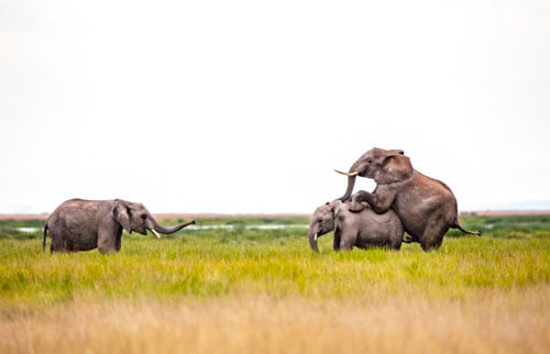 неприличная сценка со слонами