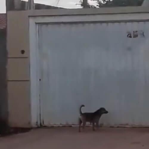 собака приподнимает ворота