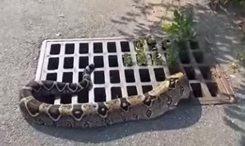 змея в ливневой канализации