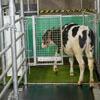коров приучают ходить в туалет