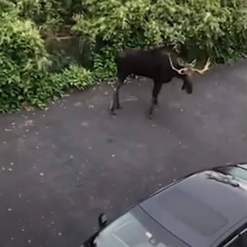 лося перевезли в безопасное место