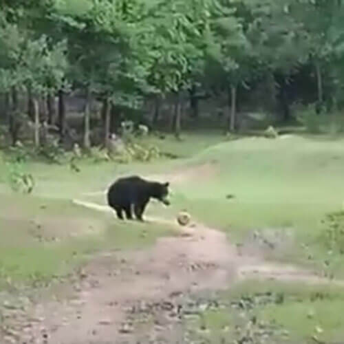 медвежата стали футболистами