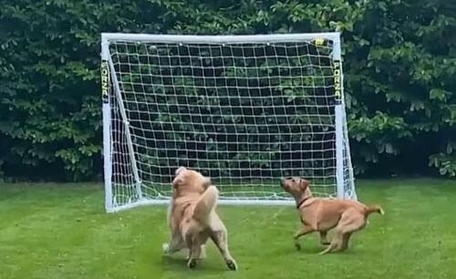 собака с футбольными воротами