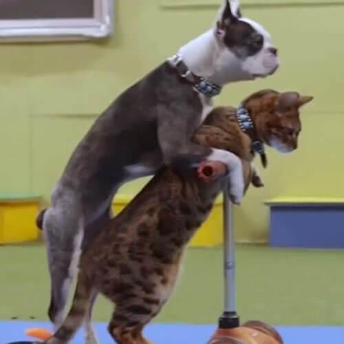 кошка с собакой на самокате