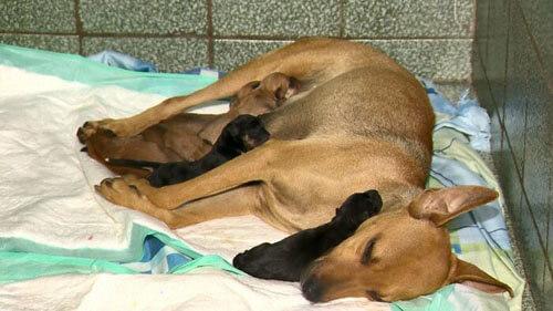 беременная бездомная собака
