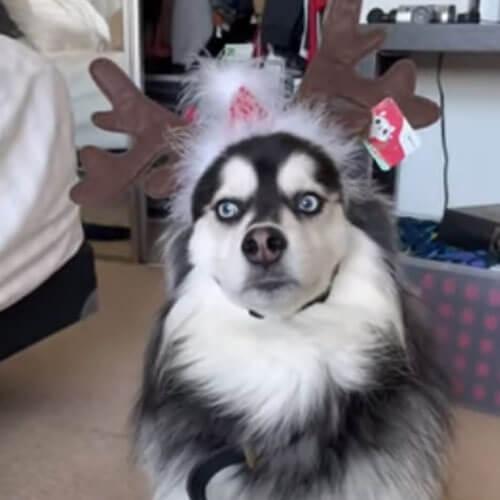 смешные оленьи рога для пса