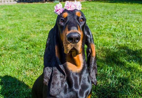 собака с самыми длинными ушами