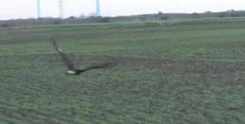 прыгучий заяц спасается от беркута