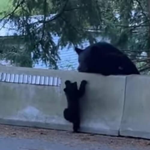 мучения вопящего медвежонка