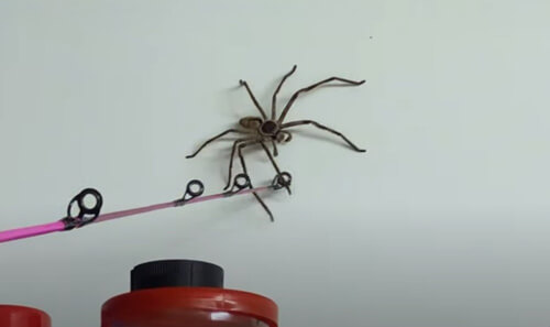 крупный паук-охотник в гараже