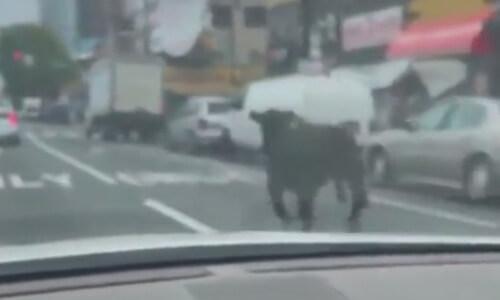 сбежавшая корова на дороге