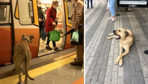 бездомный пёс ездит по городу