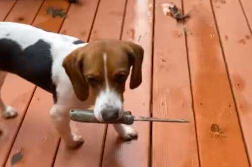 щенок вернулся с ножом