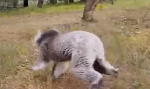 коала обрадовалась свободе