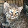 Женщина, взявшая в свой дом котят, обнаружила, что приютила детёнышей рыси
