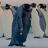 """""""Самый редкий пингвин в мире"""" был снят на видео"""
